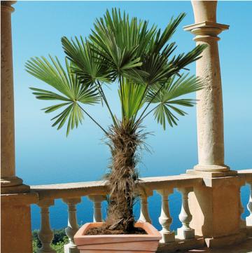 Hanfpalme mediterrane Palme