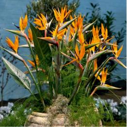 Paradiesvogelblume von Tom Garten