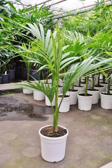 Bangalow-Palme