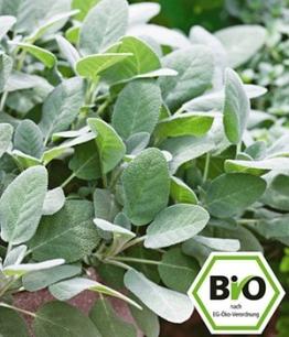 BIO-Salbei, großblättrig,1 Pflanze