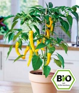 BIO-Zitronen-Chili,1 Pflanze