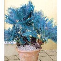 Blaue Zwerg-Palme
