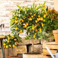 Calamondin-Orangen-Stamm, im ca. 18 cm-Topf