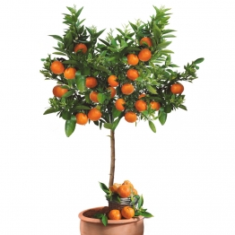 Echter Mandarinenbaum Portofino