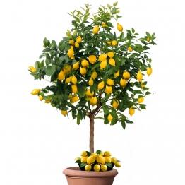 Echter Zitronenbaum Sorrento