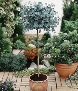 Eukalyptus-Bäumchen,1 Stämmchen