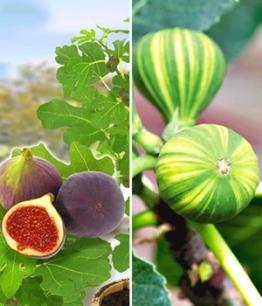 Feigen-Kollektion,2 Pflanzen