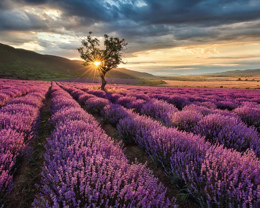 Fototapete `Lavendelfeld` 3,36x2,60 m / Vlies
