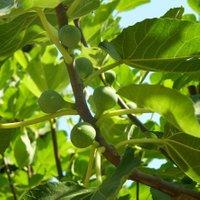 Frucht-Feige Stamm XL