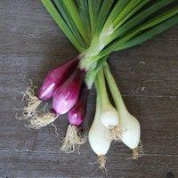 Gemüsesamen-Sortiment Bunte Bundzwiebeln