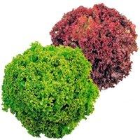 Gemüsesamen-Sortiment Lollo-Pflücksalate