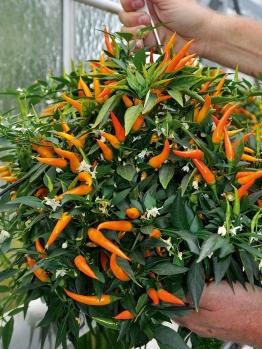 Hänge-Paprika ´Volante® Mild Orange´