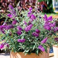 Kompakter Schmetterlingsflieder, lila, XL-Qualität