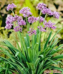 Kräuter-Würzpflanze ´Knobi Kraut´,3 Pflanzen