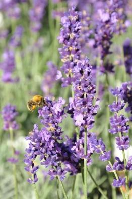 Lavendel (echter Lavendel) Hidcote