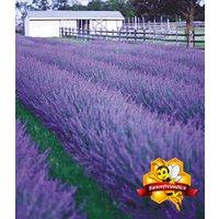 Lavendel 'Phenomenal®'