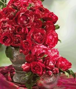 Maler-Rose&reg, ´Henri Matisse&reg,´,1 Pflanze