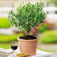 Mediterraner Mini-Olivenbusch, im ca. 14 cm-Topf