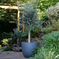 Oliven-Baum XXL