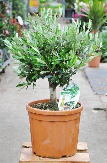 Olivenbaum als Busch