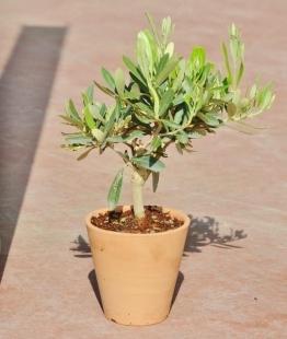 Olivenbaum aus Italien im Terracotta-Topf rund