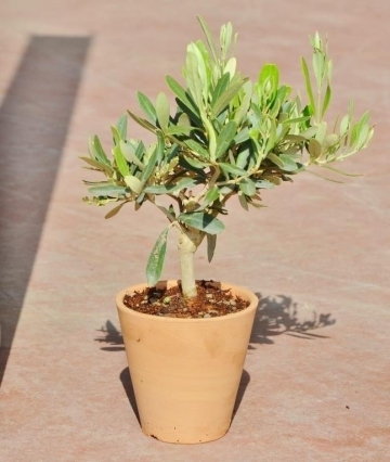 olivenbaum aus italien im terracotta topf rund shop ambiente mediterran. Black Bedroom Furniture Sets. Home Design Ideas