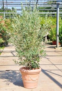 Olivenbaum (Hojiblanca) Busch frosthart