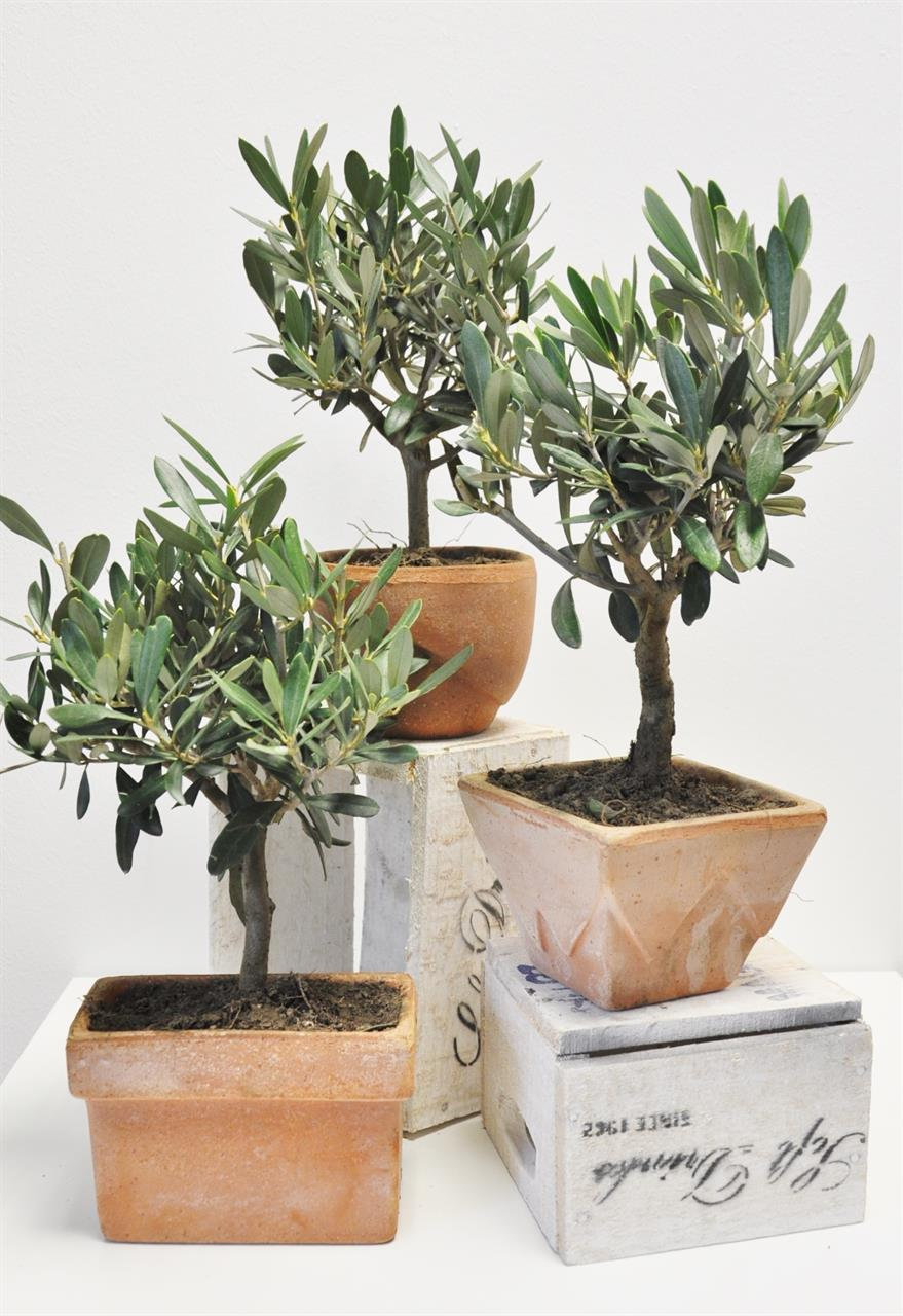 olivenbaum im terrakotta topf 3er set shop ambiente mediterran. Black Bedroom Furniture Sets. Home Design Ideas
