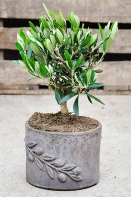 Olivenbaum (Olea europaea) Terracotta-Topf