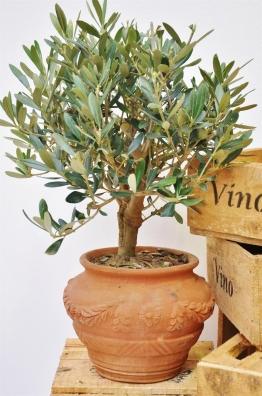 Olivenbaum (runder Terrakotta-Topf) groß