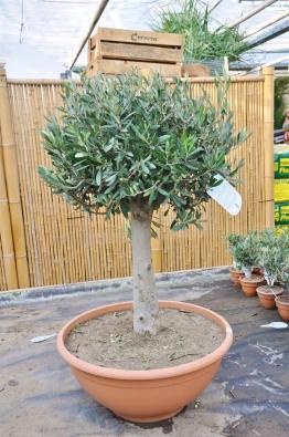Olivenbaum (Schale)