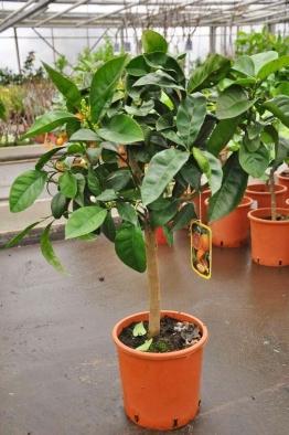 Orangenbaum (Blutorange)
