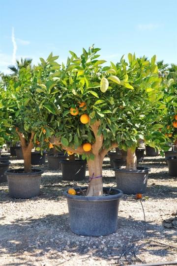 Orangenbaum (Spanische Orange)