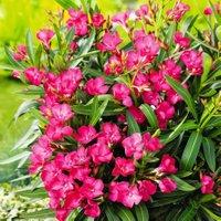 Orleander Busch, rosa