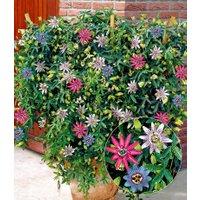 Passionsblumen-Trio 'Exotic Flowers'