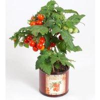 Tomatenpflanze mit Früchten 'Snack Direkt®'