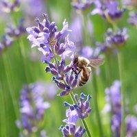 Vivara Schmalblättriger Lavendel (Lavandula angustifolia 'Munstead')