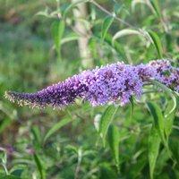 Vivara Schmetterlingsflieder 'Clive Farell'
