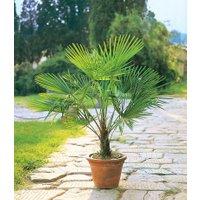 Winterharte Kübel-Palme im 21 cm Topf