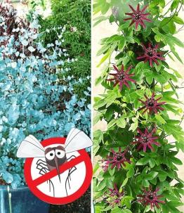 Winterharter Eukalyptus & Winterharte Passionsblume zum Vorteilspreis